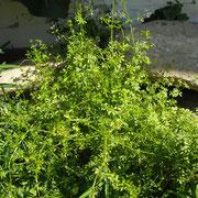 Wiesen-Labkraut (Galium mollugo agg.)