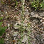 Wald-Ruhrkraut (Gnaphalium sylvaticum)