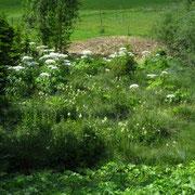 Riesen-Bärenklau (Heracleum mantegazzianum)