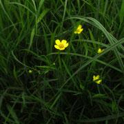 Brenn-Hahnenfuß (Ranunculus flammula)
