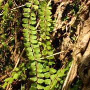 Braunschwarzer Streifenfarn (Asplenium trichomanes)