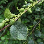 Grün-Erle (Alnus alnobetula) | Früchte