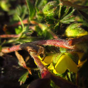 Siebenblatt-Fingerkraut (Potentilla heptaphylla)