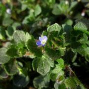 Efeu-Ehrenpreis (Veronica hederifolia)