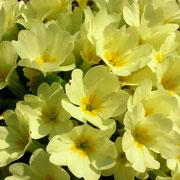Erd-Primel (Primula vulgaris)