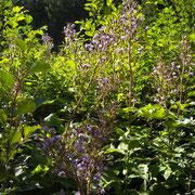 Milchlattich (Lactuca alpina)