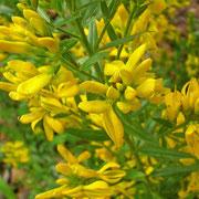 Färber-Ginster (Genista tinctoria)