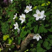 Muschelblümchen (Isopyrum thalictroides)