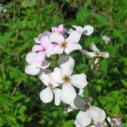 Matronen-Nachtviole (Hesperis matronalis s.lat.)