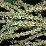 Geißbart (Aruncus dioicus) | Fruchtstand