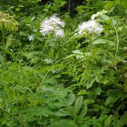 Akelei-Wiesenraute (Thalictrum aquilegiifolium)
