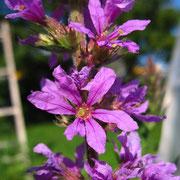 Gewöhnlicher Blutweiderich (Lythrum salicaria)