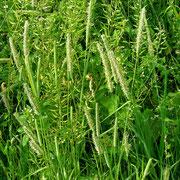 Wiesen-Lieschgras (Phleum pratense agg.)