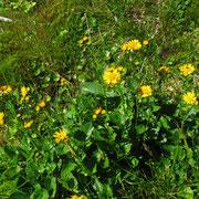 Berg-Greiskraut (Senecio subalpinus)