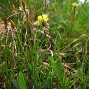 Frühlings-Segge (Carex caryophyllea)