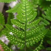 Ruprechtsfarn (Gymnocarpium robertianum)