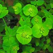 Mandel-Wolfsmilch (Euphorbia amygdaloides)