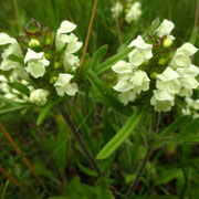 Weiße Brunelle (Prunella laciniata)