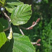 Grau-Erle (Alnus incana) | weibliche Blüten