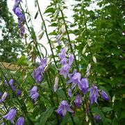 Acker-Glockenblume (Campanula rapunculoides)