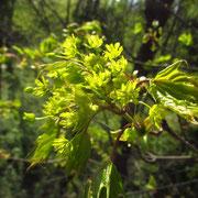 Spitz-Ahorn (Acer platanoides)