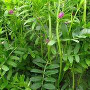 Saat-Wicke (Vicia sativa)