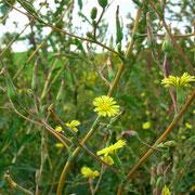 Kompass-Lattich (Lactuca serriola)