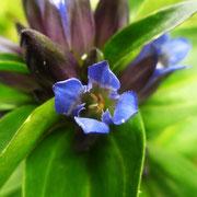 Kreuz-Enzian (Gentiana cruciata)