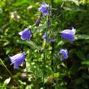 Witasek-Glockenblume (Campanula witasekiana)