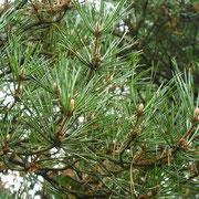 Rot-Föhre (Pinus sylvestris)