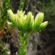 Kurzhaarige Kugel-Fransenhauswurz (Jovibarba globifera subsp. hirta)