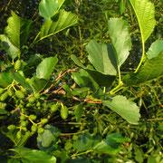 Schwarz-Erle (Alnus glutinosa) | Fruchtstände (Zapfen)