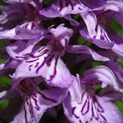 Flecken-Fingerwurz (Dactylorhiza maculata s.lat.)