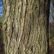 Winter-Linde (Tilia cordata) | Borke