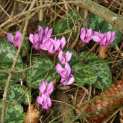 Zyklame (Cyclamen purpurascens)