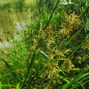 Flatter-Simse (Juncus effusus)