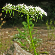 Hundspetersilie (Aethusa cynapium)