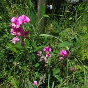 Breitblatt-Platterbse (Lathyrus latifolius)