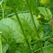 Sumpf-Pippau (Crepis paludosa)
