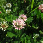 Kriech-Klee (Trifolium repens)
