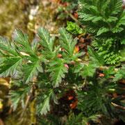 Gewöhnlicher Reiherschnabel (Erodium cicutarium)