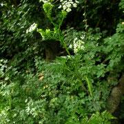 Rüben-Kälberkropf (Chaerophyllum bulbosum)