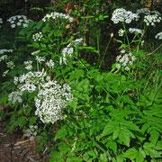 Wimper-Kälberkropf (Chaerophyllum hirsutum)