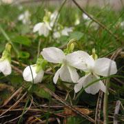 Weiß-Veilchen (Viola alba)