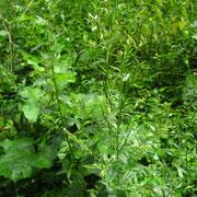 Drüsen-Weidenröschen (Epilobium ciliatum)