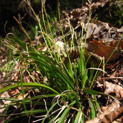 Finger-Segge (Carex digitata)