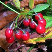 Bittersüß-Nachtschatten (Solanum dulcamara)