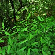 Zwiebel-Zahnwurz (Cardamine bulbifera)