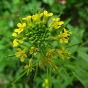 Ruderal-Goldlack (Erysimum ruderale)