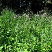 Acker-Kratzdistel (Cirsium arvense)